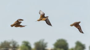 Sand grouse trio fly by