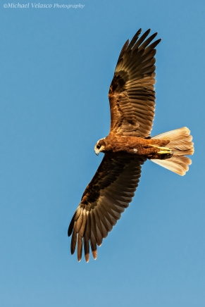 Marsh Harrier fly by