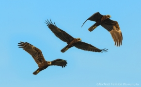 Marsh Harrier flight sequence
