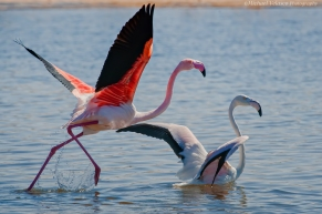 Flamingo take-off