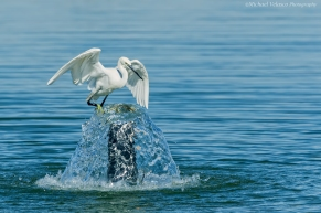 Egret on water spout