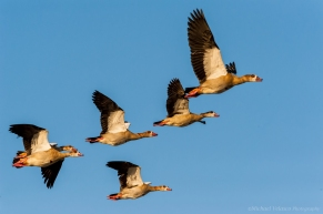 A flock of Egyptian Geese in flight