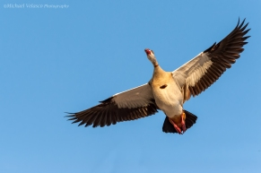 Egyptian goose fly by