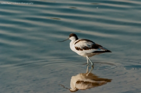 Avocet reflecting